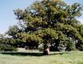 Chêne 2.tif