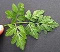 Chaerophyllum temulum leaf (09).jpg