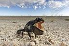 Chamaeleo namaquensis (Namib-Naukluft, 2011).jpg
