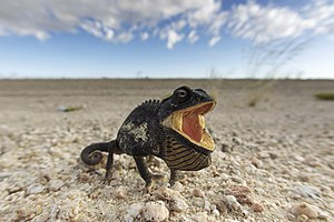 Namaqua chameleon - Threat display, Namib-Naukluft National Park