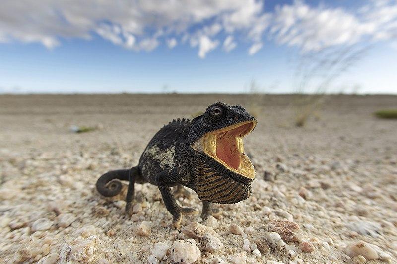 File:Chamaeleo namaquensis (Namib-Naukluft, 2011).jpg