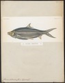 Chanos salmoneus - 1841-1852 - Print - Iconographia Zoologica - Special Collections University of Amsterdam - UBA01 IZ15100093.tif