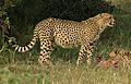 Cheetah, Acinonyx jubatus, at Pilanesberg National Park, Northwest Province, South Africa. (26977238673).jpg