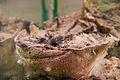 Chelus fimbriatus 01.jpg
