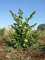 Chenopodium hybridum sl8.jpg