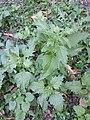 Chenopodium murale sl53.jpg
