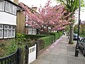 Cherry blossom in Princes Gardens - geograph.org.uk - 1839976.jpg