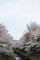 Cherry blossom near Zenpukuji river, Tokyo; March 2008 (09).jpg