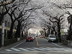 Cherry blossoms in Musashino 2.jpg