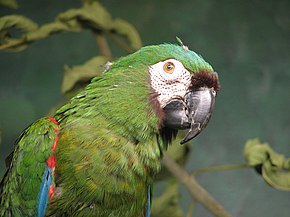 Chestnut-fronted Macaw 001.jpg