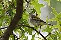 Chestnut-sided Warbler (30268243427).jpg