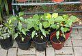 Chili-Pflanzen (9478758438).jpg