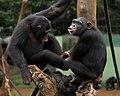 Chimpas at Tacugama Sanctuary, near Freetown.jpg