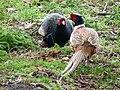 Chinese Ring Necked Pheasant & Melanistic Mutant Ringneck Cross Pheasant (5293721543).jpg