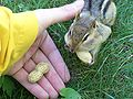 Chipetting for peanuts13.jpg