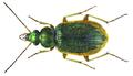 Chlaenius (Chlaeniellus) gilleti Mateu, 1966; Syn. Chlaenius (Chlaeniellus) togatus Klug, 1829 (8474308572).png