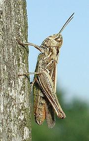 Chorthippus biguttulus, a grasshopper
