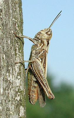 Nachtigall-Grashüpfer (Chorthippus biguttulus) ♀