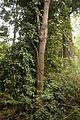 Christchurch Botanic Gardens, New Zealand section, ripogonum scandens 2016-02-04.jpg