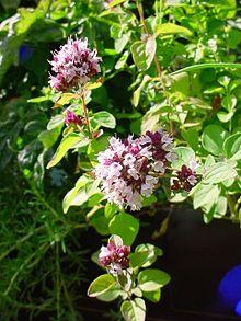 Plantas medicinales comunes