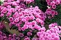 Chrysanthemum Rhapsody 4zz.jpg