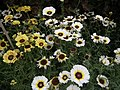 Chrysanthemum from Lalbagh flower show Aug 2013 8326.JPG