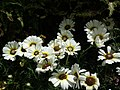Chrysanthemum from Lalbagh flower show Aug 2013 8349.JPG