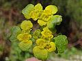 Chrysosplenium alternifolium BG2.jpg