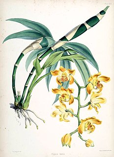Arethuseae Tribe of orchids