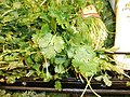 Cilantro bunches in a stack.jpg