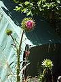 Cirsium altissimum Tall thistle.jpg