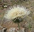 Cirsium neomexicanum 6.jpg