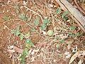 Citrullus lanatus habit.jpg