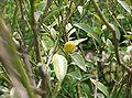 Citrus japonica2.jpg