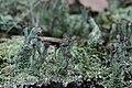 Cladonia sp. (24859255577).jpg