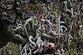 Cladonia sp. (35815271426).jpg