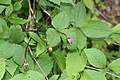 Clematis japonica s5.jpg