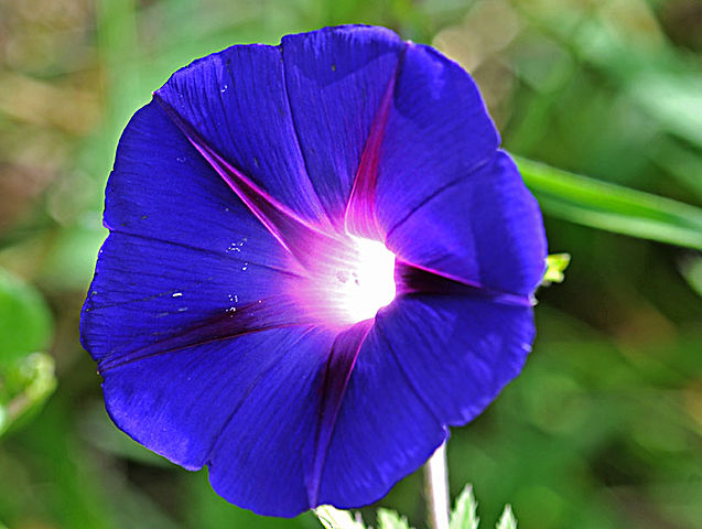 filecloseup of a blue and pink morning glory flower, Natural flower