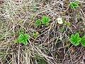 Cloudberry, Rubus chamaemorus - geograph.org.uk - 912451.jpg