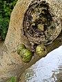 Cluster Fig Fruit - Red River Fig Fruit - Buah Loa (Ficus racemosa).jpg