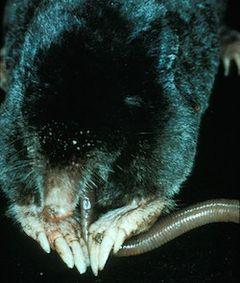240px coast mole (scapanus orarius)