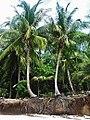 Coconut tree roots.jpg