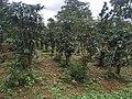 Coffee plantations Bolaven Plateau 02.jpg