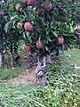 Cogli la prima mela - panoramio.jpg
