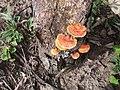 Cogumelos alaranjados.jpg