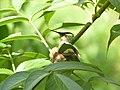 Colibri dans son nid.jpg
