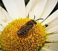 Colletes species (48365971282).jpg