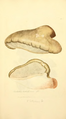 Coloured Figures of English Fungi or Mushrooms - t. 212.png