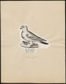 Columba livia - 1809-1845 - Print - Iconographia Zoologica - Special Collections University of Amsterdam - UBA01 IZ18900123.tif
