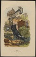 Columba livia - 1838 - Print - Iconographia Zoologica - Special Collections University of Amsterdam - UBA01 IZ18900103.tif